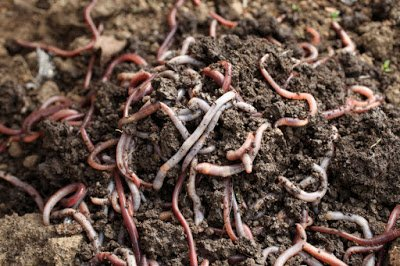 Either red earthworms (pictured) or red wigglers are ideal for vermicomposting to meet ASTM D5975-17 requirements