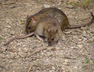 Rattus exulcans eat seeds