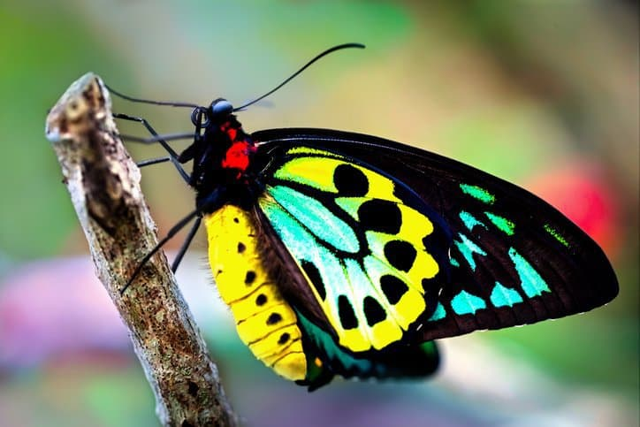 A beautiful, colorful butterfly can be easily seen in nature due to its vibrant chromatism.
