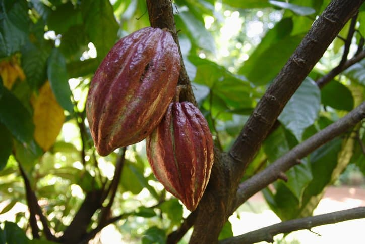 Cocoa Plant Sustainability ISO 34101
