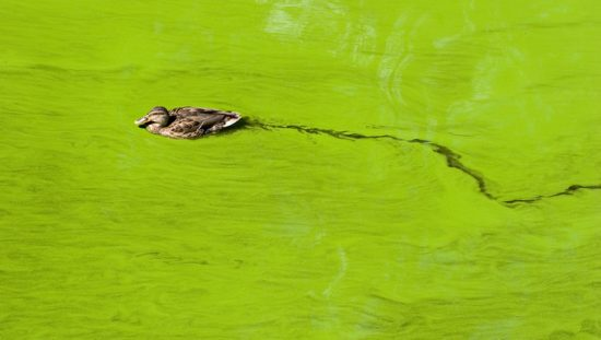 Duck swimming in lake filled with Microcystis