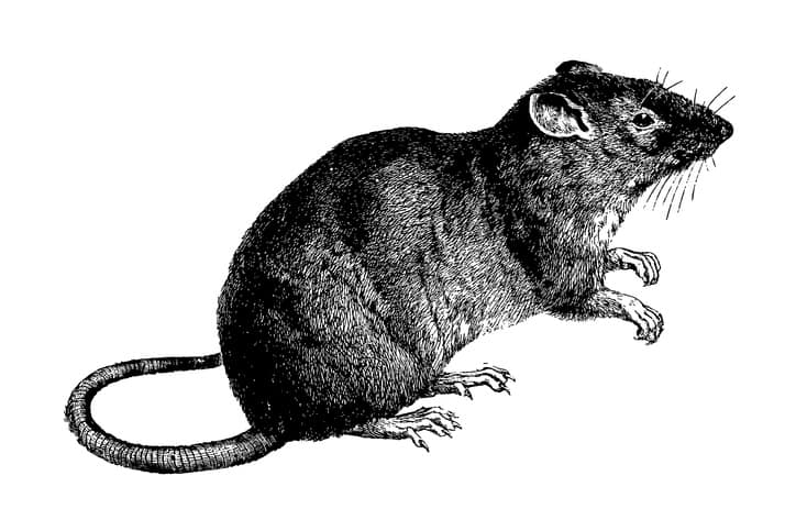 An old brown rat drawn in a history book.