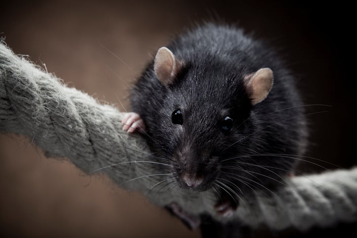 A black rat traveling up rope since there is no ASTM F1099M rat guard on ship.