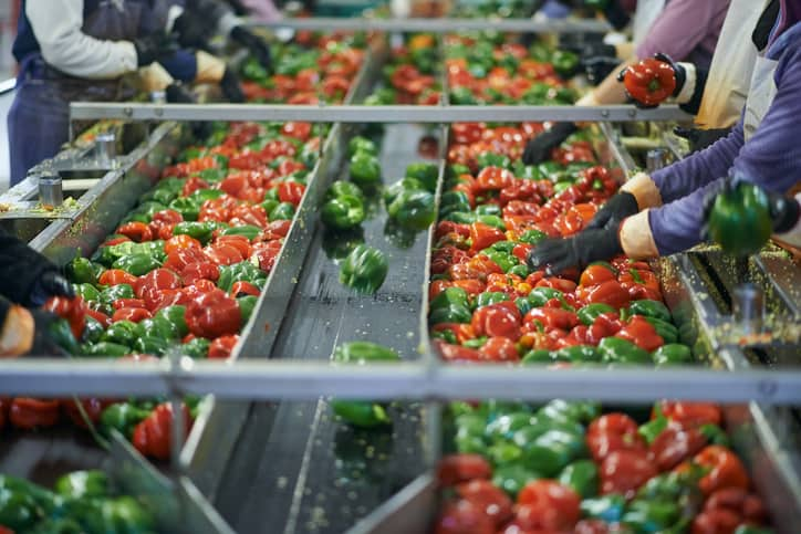 Workers following ISO 22000:2018 while sorting green and red peppers to not change our food safety