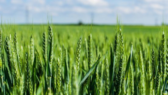 Barleycorn Inches History