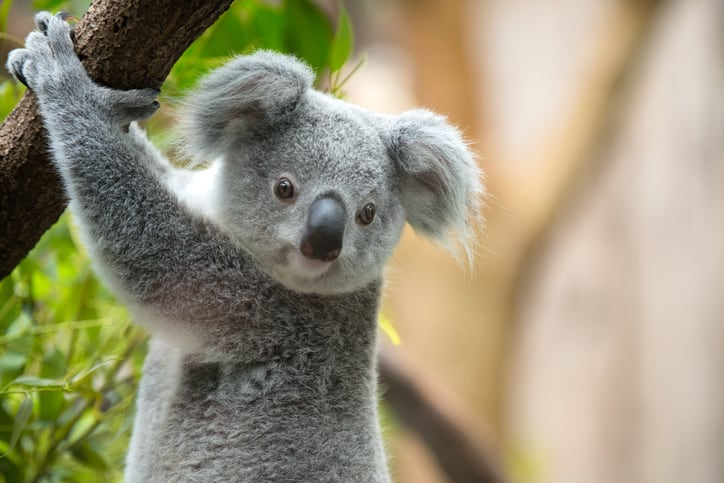 Koalas Have Fingerprints to Grasp Trees