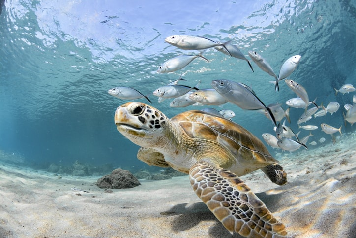Turtle right up at the screen following by silver fish without sound pollution.
