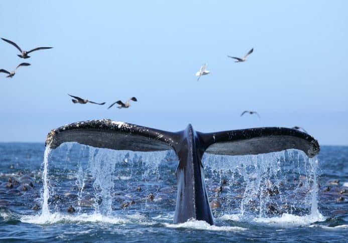 Humpback whale lifting tale out of water, making a lot of sound and scaring seagulls with pollution.