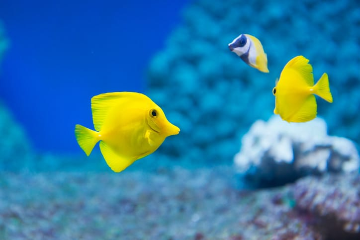 Two bright yellow Zebrasoma flavescens (yellow tang) in coral reef with other fish.