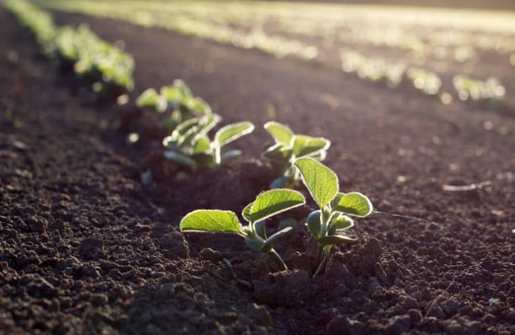 Green lettuce plants sprouting from the dirt back at the beginning stage of ISO 14001:2015 life cycle assessment.