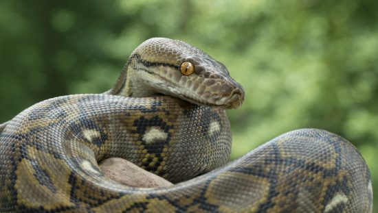 Reticulated python representing the programming language specified in standards and useful for any profession.